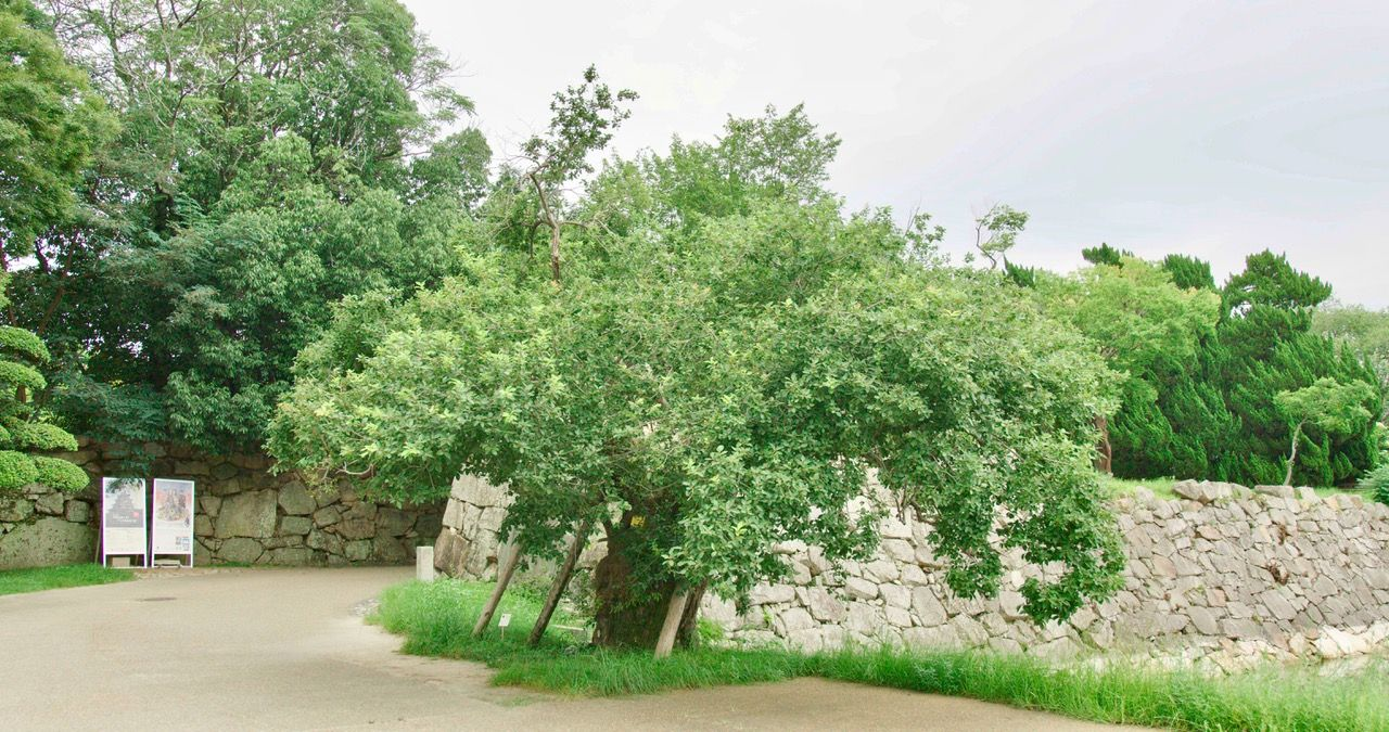 Philip Clemo: The Trees of Hiroshima and Nagasaki